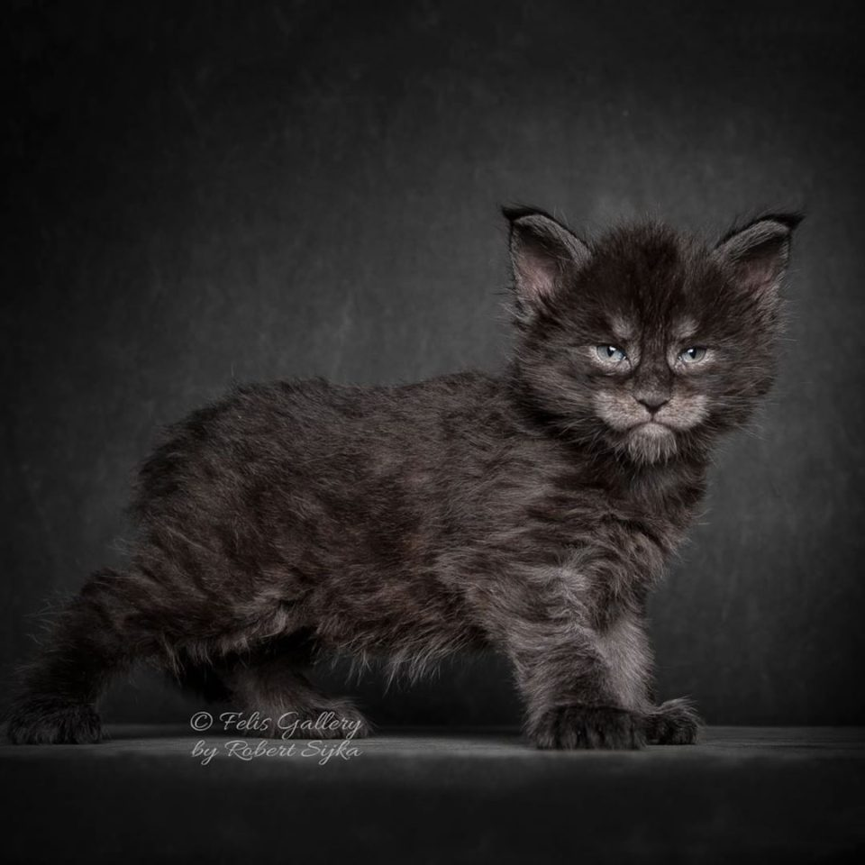 Кошки породы мэйн-кун