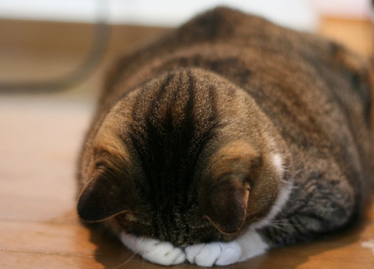 толстая кошка