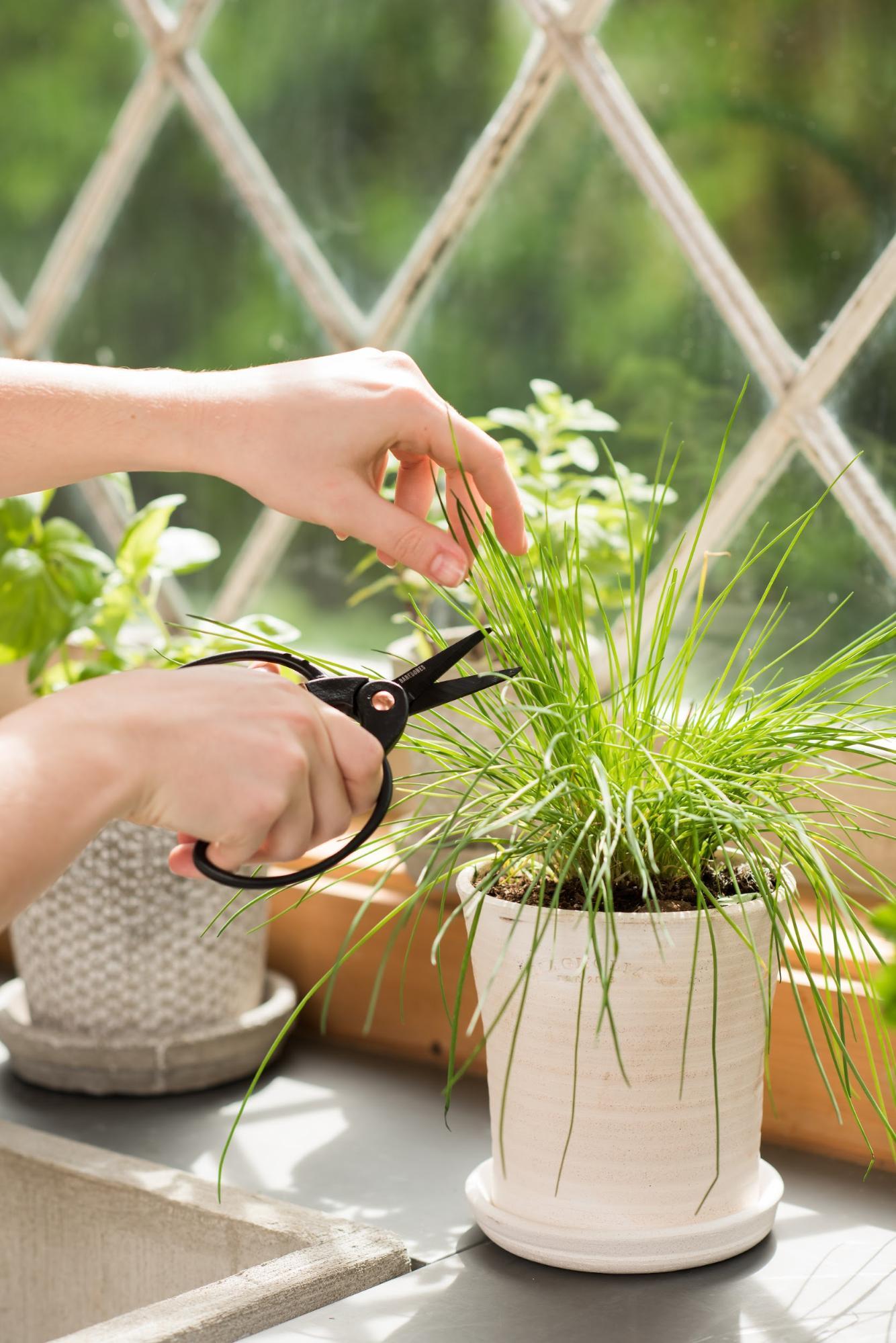 Огород на подоконнике: как выращивать ароматические травы дома