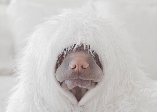 shar-pei-dog-paddington-friend-annie-cat-6