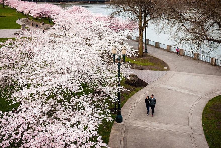 цветущая сакура. blossoming sakura